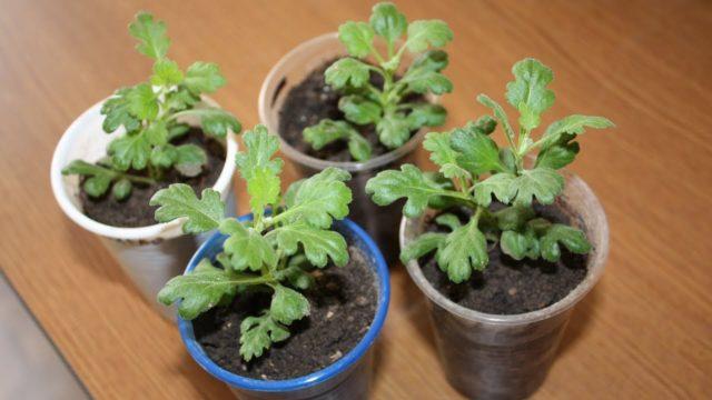 Размножение хризантемы черенками из букета в домашних условиях