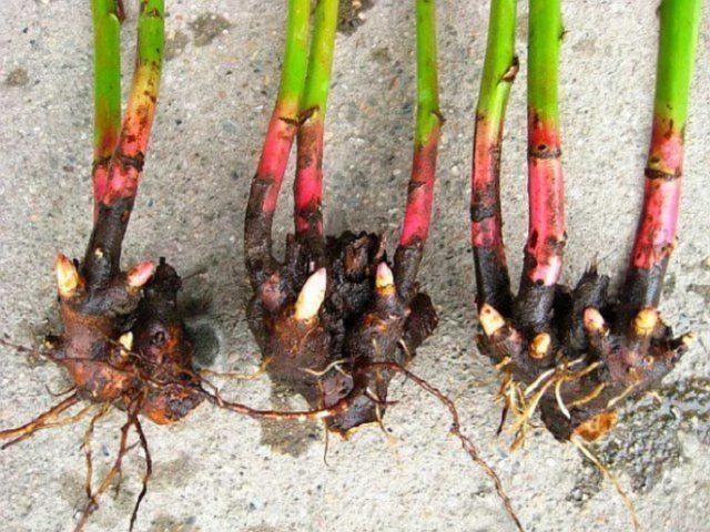 Как размножать пионы: черенками, делением куста, видео