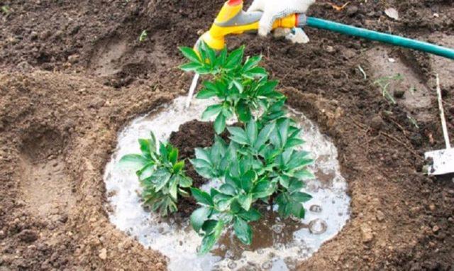 Как поливать пионы в открытом грунте, горшке