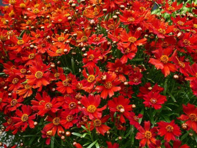 Кореопсис многолетний: посадка и уход, фото цветов