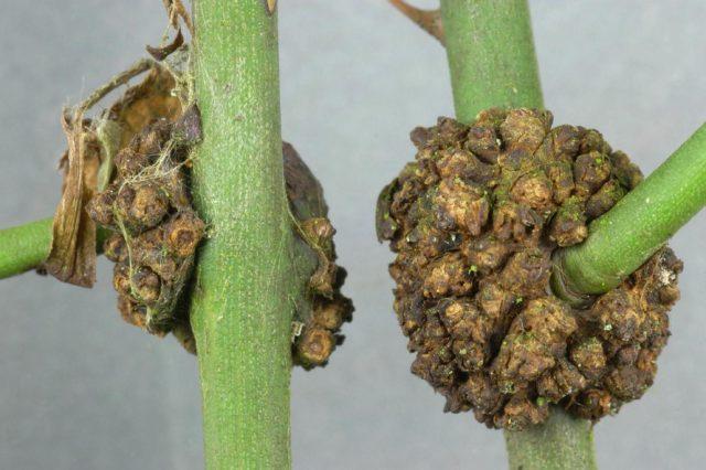 Вредители, болезни хризантем: описание и их лечение с фото