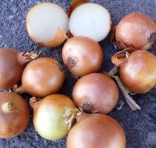 Сорта лука-севка для посадки под зиму