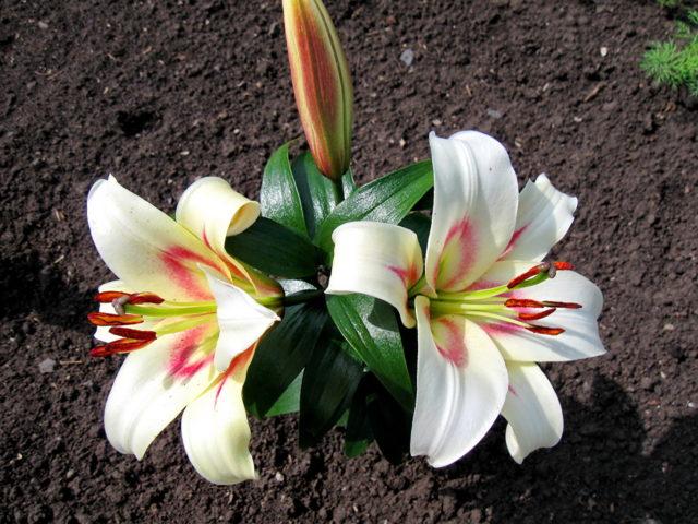 Размножение лилий черенками: после цветения, в домашних условиях