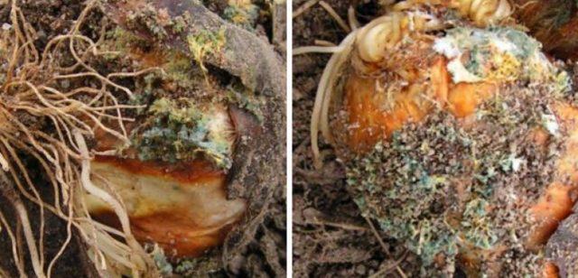 Болезни лилий и борьба с ними: описание, фото, видео