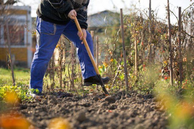 Когда и как можно пересаживать хризантемы на другое место осенью