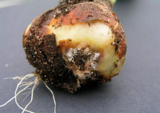 Как правильно хранить луковицы гиацинтов в домашних условиях