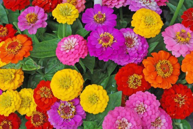 Когда и как собрать семена циннии (цинии) со своих цветов