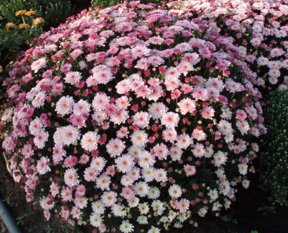 Как сохранить хризантемы зимой дома и на улице