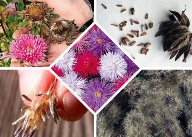 Когда и как правильно собрать семена астры в домашних условиях