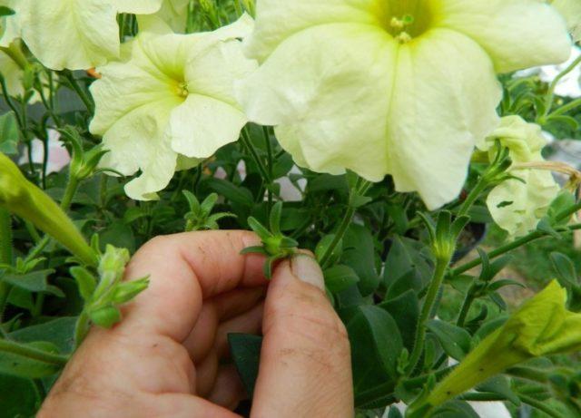 Когда и как правильно собрать семена петунии ампельной, махровой