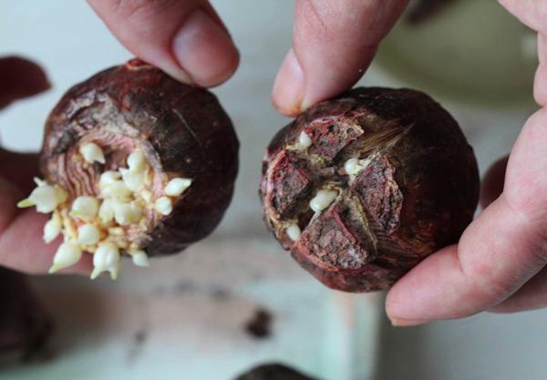 Нужно ли и когда выкапывать гиацинты после цветения